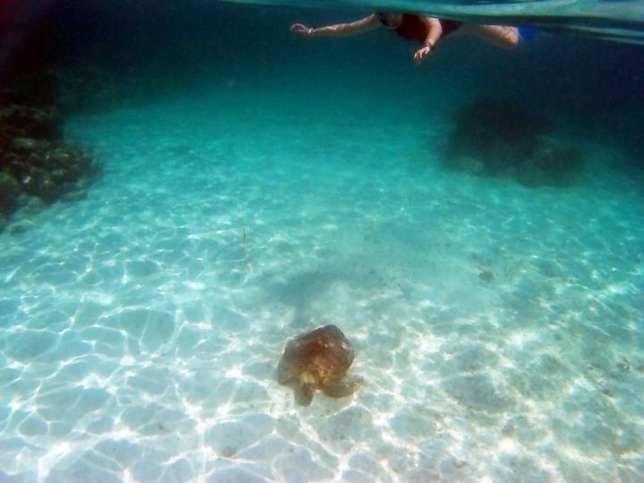 Tortuga buceando en la Playa de Akumal